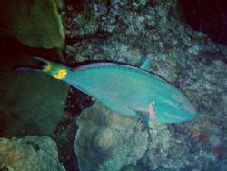Stoplight Parrotfish-East Bank of Flower Garden Banks Nat... by Angie Walden 